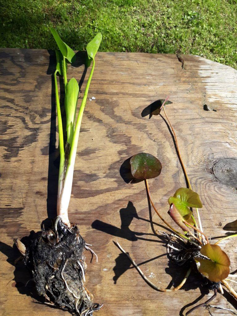 Bear root pickerel waterlily